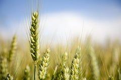 Ohren des Weizens stockfotografie