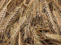 Ohren des Weizens, Abschluss oben Stockbild