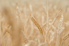 Ohren des Weizens auf dem Feld mit blauem Himmel Stockfotos