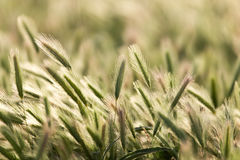 Ohren des Weizens auf der Natur lizenzfreie stockbilder