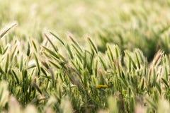 Ohren des Weizens auf der Natur lizenzfreie stockfotografie