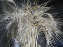 Ohren des Weizens auf dunklem Hintergrund Stockbilder