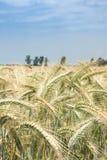 Ohren des Weizens in der Sonne Stockbilder
