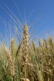 Ohren des Weizens im Feldnahaufnahmefoto lizenzfreie stockfotografie