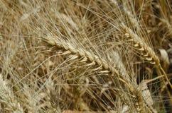 Ohren des Weizens im Feldnahaufnahmefoto Stockfotografie