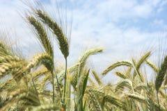 Ohren des Weizens im Wind Stockbild