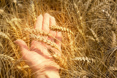 Ohren des Weizens liegend auf den Frauen ` s Händen Lizenzfreie Stockfotos