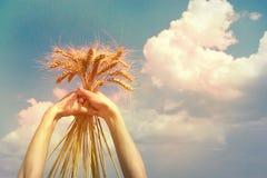 Ohren des Weizens liegend auf den Frauen ` s Händen Lizenzfreies Stockfoto