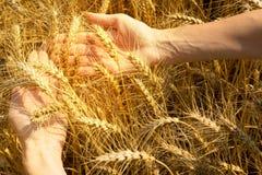 Ohren des Weizens liegend auf den Frauen ` s Händen stockfotos