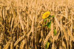 Ohren des Weizens und der Sonnenblume, die auf dem Feld wachsen Stockfotos