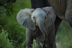 Ohren eines hoben junge Elefantenkalbs an stockfoto