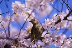 Ohrige Bulbul- und Kirschblüten Browns stockfoto