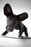 Ohriger Hund Stockfoto