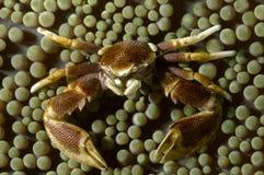 Ohshimai de Neopetrolisthes de crabe de porcelaine dans son anémone symbiotique Malapascua, Philippines images libres de droits