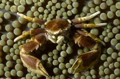 Ohshimai Neopetrolisthes καβουριών πορσελάνης στο συμβιοτικό anemone του Malapascua, Φιλιππίνες στοκ εικόνες με δικαίωμα ελεύθερης χρήσης