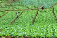 Oidentifierad bondesprejare deras kålfält, Petchabun, Thailand Arkivfoto