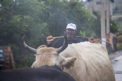 Oidentifierad herde bak en flock av kor på en regnig Juli dag i den bulgariska Rhodope bergbyn av Bukovo fotografering för bildbyråer