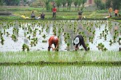 Oidentifierade kinesiska bönder arbetar hårt på risfält arkivbilder