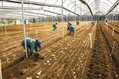 Oidentifierade trädgårdsmästare som planterar potatiscallaliljan Arkivfoto