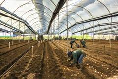 Oidentifierade trädgårdsmästare som planterar potatiscallaliljan Arkivbilder
