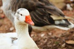 Oie à la ferme Photos stock