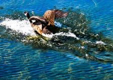 Oie écrémant l'eau Image libre de droits
