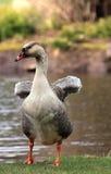 Oie au bord de l'eau Photo libre de droits