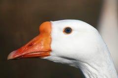 Oie avec des œil bleu Photo stock