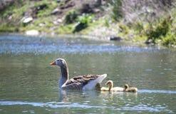 Oie avec des oisons dans l'étang images stock