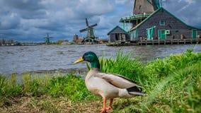 Oie avec le gisement de turbine de vent photos stock