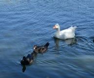 Oie avec les canards blancs Image libre de droits