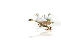 Oie avec les canards blancs Photo libre de droits