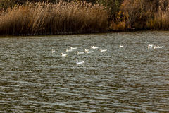 Oie avec les canards blancs Photo stock