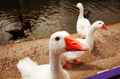 Oie avide par l'étang photos libres de droits