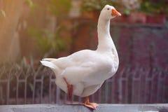 Oie blanche à Barcelone en parc Photos stock