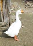 Oie blanche Photographie stock libre de droits