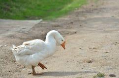 Oie blanche Photos libres de droits