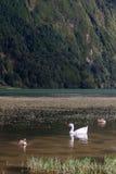 Oie blanche avec des canards nageant sur le lac vert, Açores Photos libres de droits