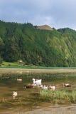 Oie blanche avec des canards nageant sur le lac vert, Açores Image stock
