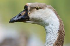 Oie blanche et brune Photographie stock libre de droits