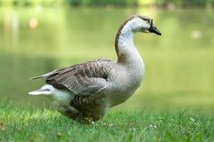 Oie blanche et brune en vert Image stock