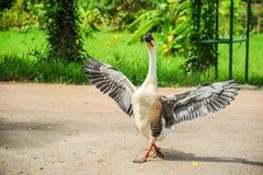 Oie blanche et grise répandant ses ailes Images stock