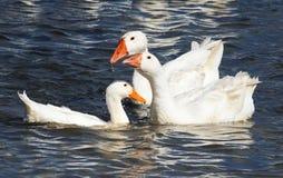 Oie blanche flottant sur un lac bleu photos libres de droits