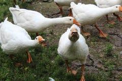 Oie blanche, plan rapproché dans le ménage photographie stock libre de droits