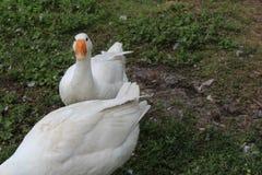 Oie blanche, plan rapproché dans le ménage photographie stock