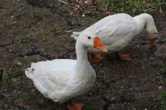 Oie blanche, plan rapproché dans le ménage photo stock