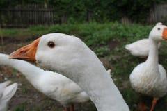 Oie blanche, plan rapproché dans le ménage image libre de droits