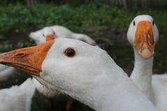 Oie blanche, plan rapproché dans le ménage image stock