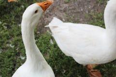 Oie blanche, plan rapproché dans le ménage images stock