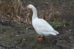 Oie blanche, plan rapproché dans le ménage photos libres de droits